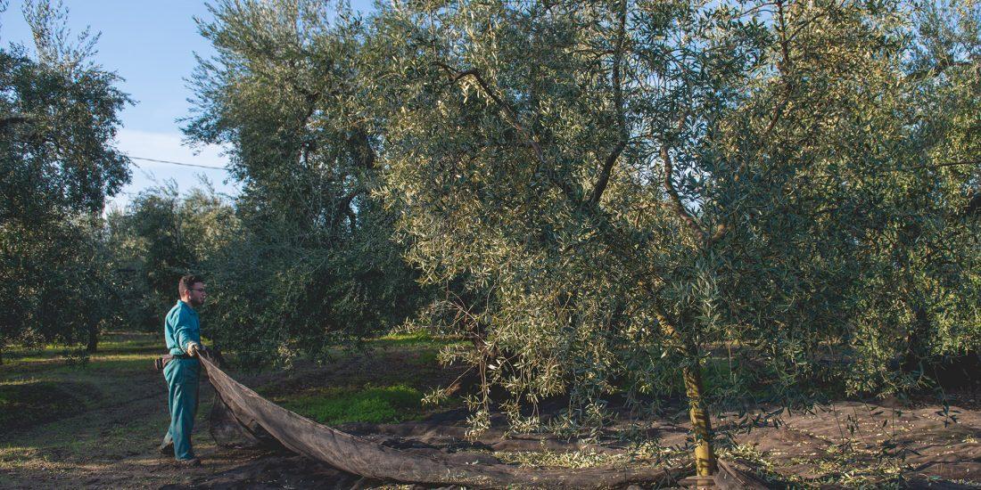 Olive harvest olio guglielmi